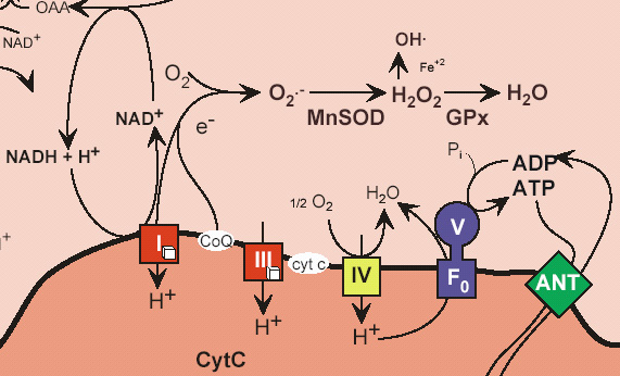 Energy Production In Mitochondria Cshl Dna Learning Center